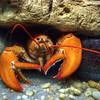 Lobster  9652  w24