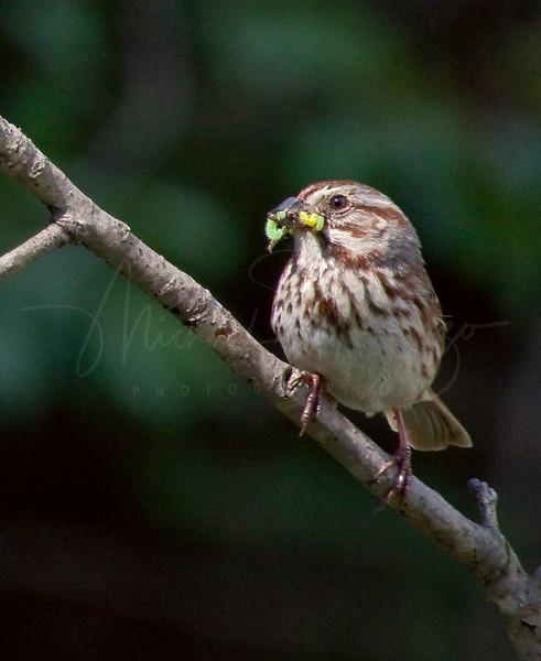 Song Sparrow   1274
