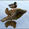 Ducks  0636