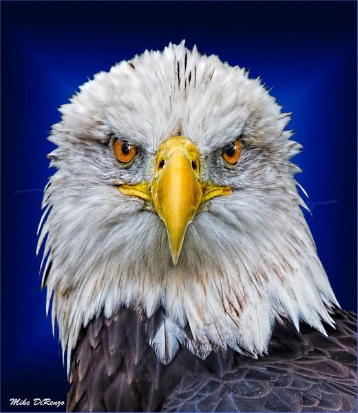 Eagle Head 5936 w52
