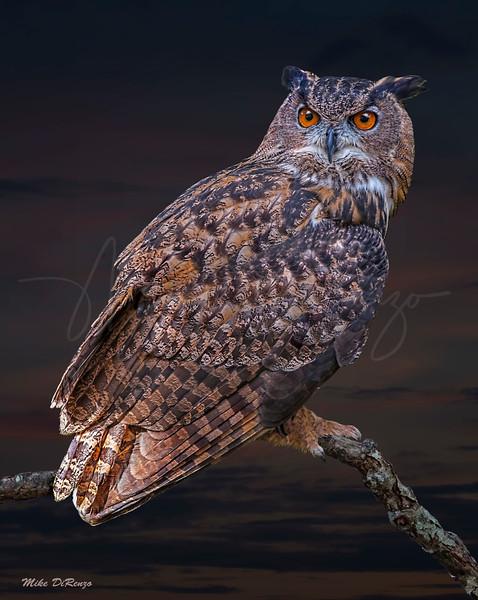 Great Horned Owl 6159 w60