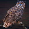 Great Horned Owl 6159 w60
