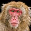 Pensive Snow Monkey 2718 w54