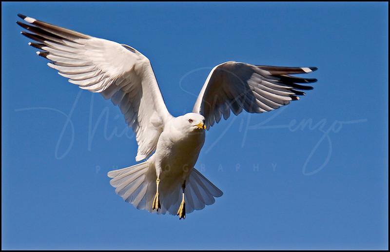 Gull Landing 4476