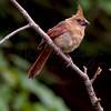 Female Cardinal 7459