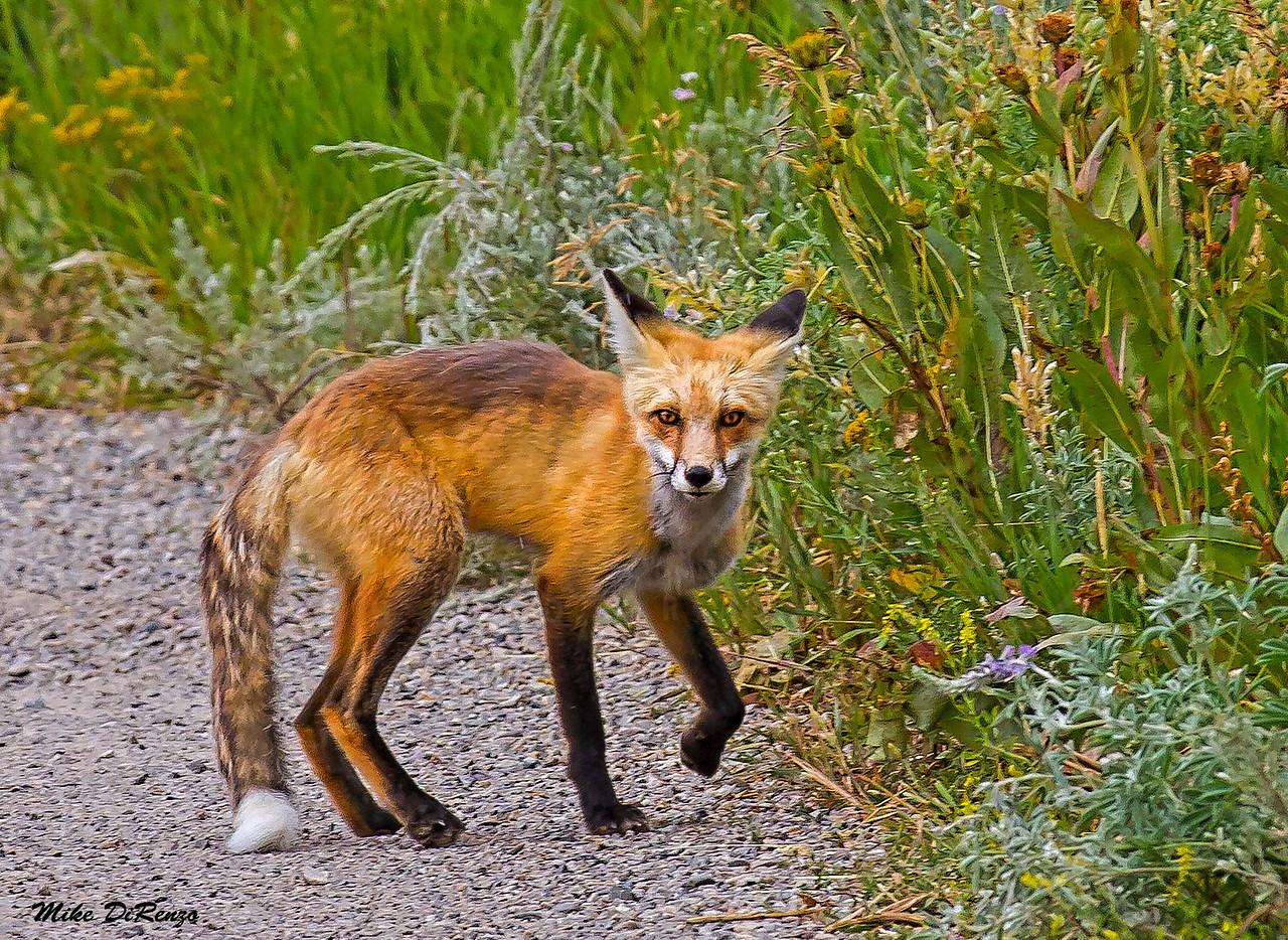 Red Fox 0093 w53