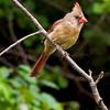 Female Cardinal 6770