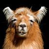 Alpaca 1640