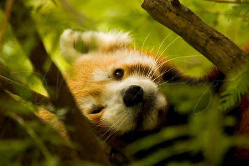 Red Panda 9410