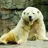 Polar Bear 9385