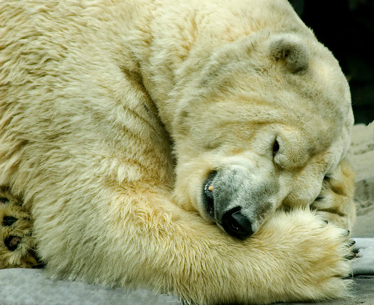 Polar Bear 9389