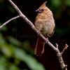 Female Cardinal  7463