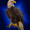 Bald Eagle in Blue 5692 w52