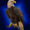 Bald Eagle in Blue 5692 w52