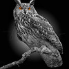 Great Horned Owl 6877 w60 BW