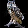 Great Horned Owl 5877 w52