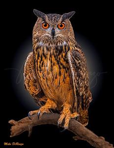 Wise Owl  5617 w53