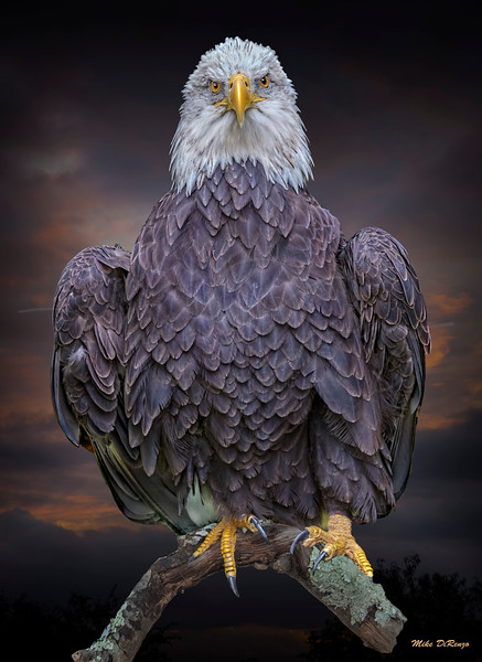 American Bald Eagle 6240 w59