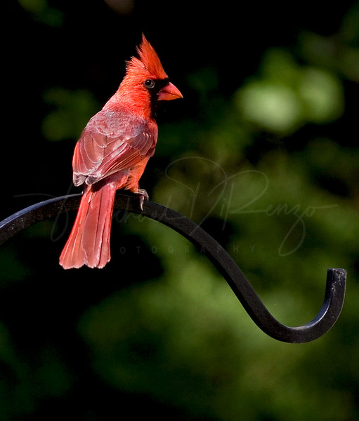 Male Cardinal 52608