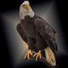 American Eagle 5691 w52