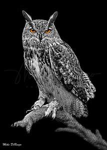 Great Horned Owl 5877 w52 B&W