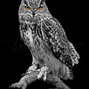 Great Horned Owl 5877 w52 B&W