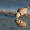 Sandpiper Reflection 8566