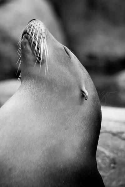 Sunning Sea Lion 9430