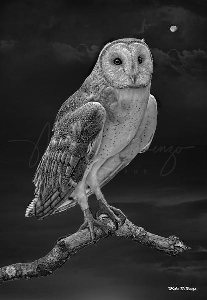 Barn Owl 6334 w60