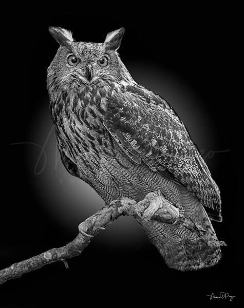 Horned Owl 6877 w64