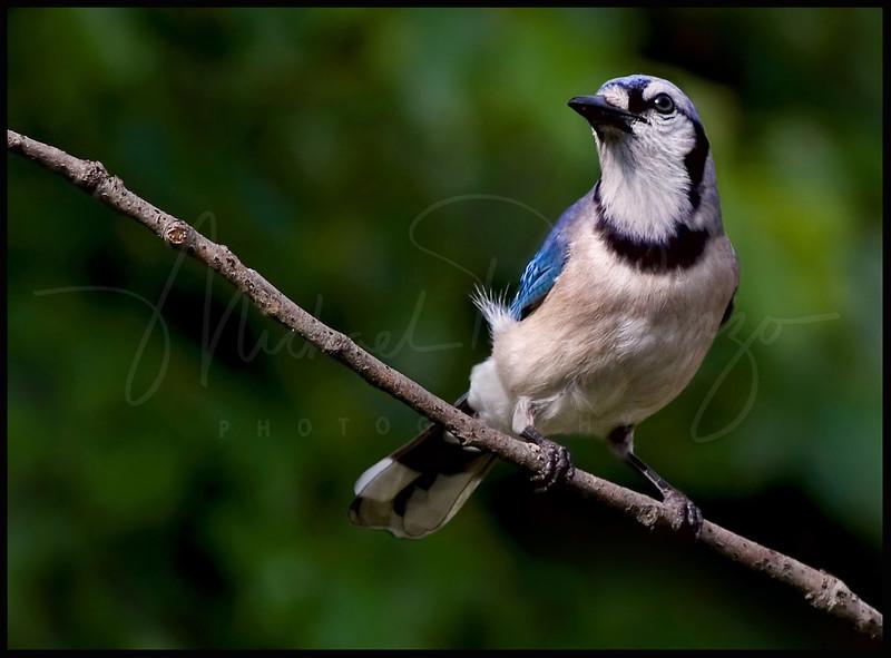 Blue Jay  7886
