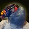 Ugly Buzzard 2242 w49