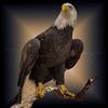 American Icon  5670 w52