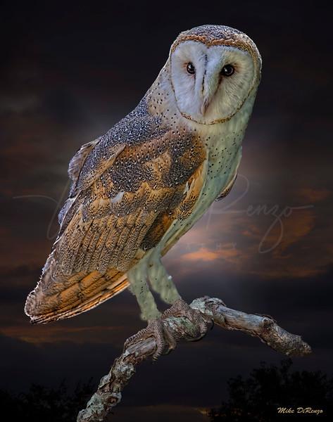Barn Owl 6405 w60