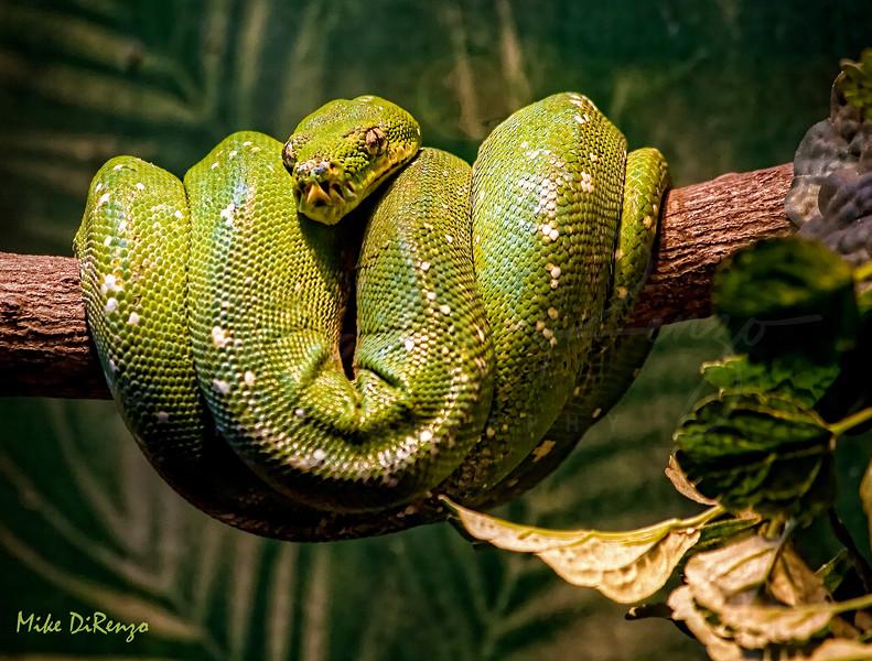 Green Boa  1114  w24