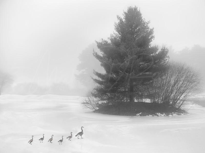 Duck Walk  6816