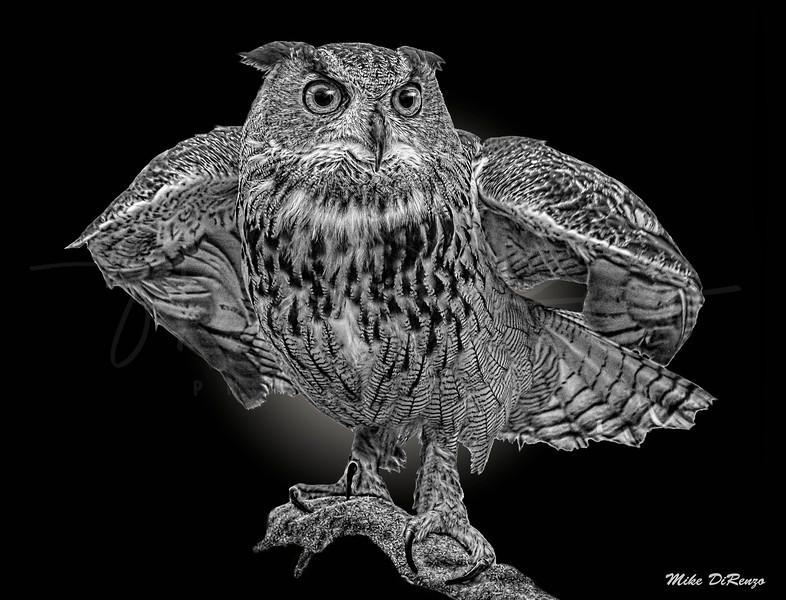 Horney Owl  5761 w52