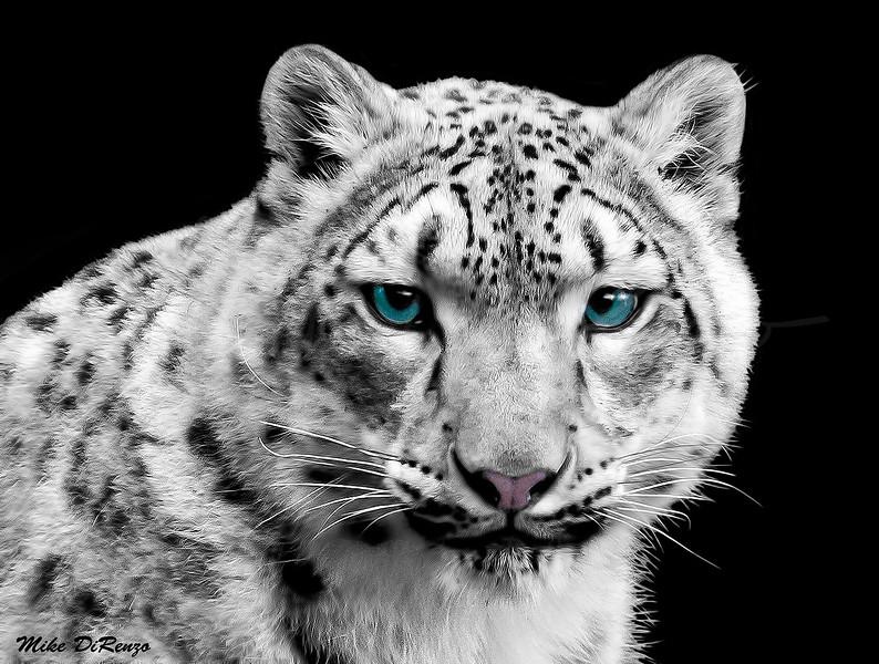 Snow Leopard 2279 w33