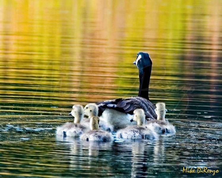 Gang of Geese 2298