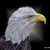 Bald Eagle  6085 w60