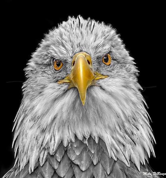 Bald Eagle 6236 w59