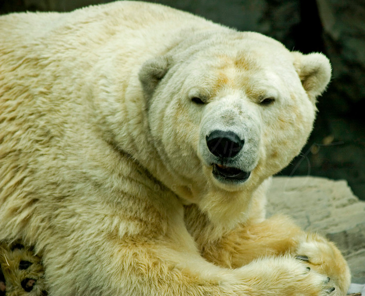 Polar Bear 9391