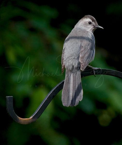 Catbird 7932