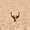 A fine mule deer buck hiding in wheat.  His nice set of antlers are still in the velvet, somewhat late I would think,  on this 3rd day of August, 2012.  He played hide and seek with me for some time, ducking down out of sight, then popping back up a few few feet away to take another peek.  Why he was in this large field of ripened wheat, I have no idea