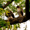 Red tailed Hawk with captured squirrel shows how it is done to the fledgling offspring.