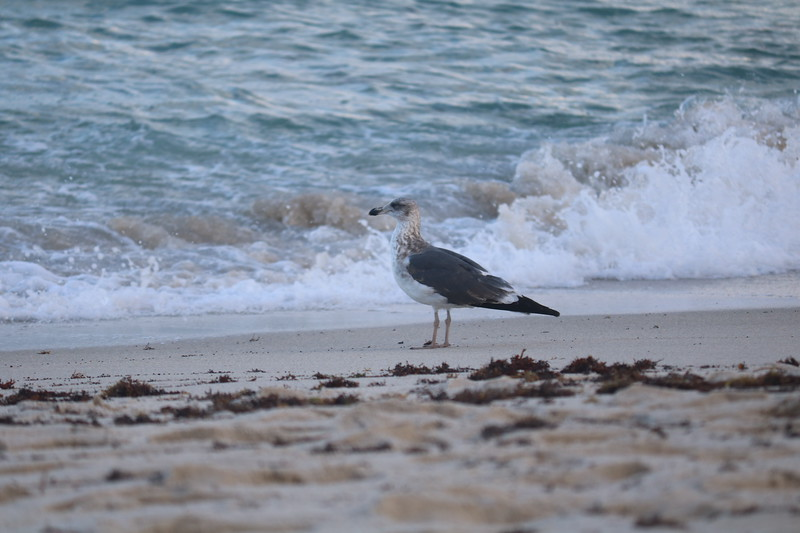 Seagull near the Surf