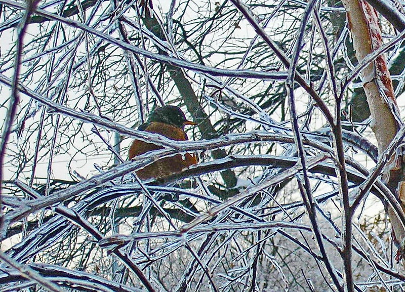 Robin after the Ice Storm