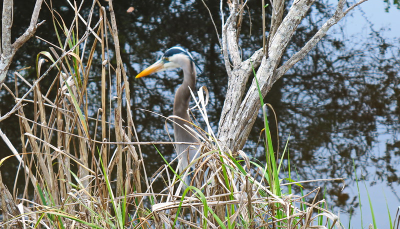 Great Blue Heron in the Canal