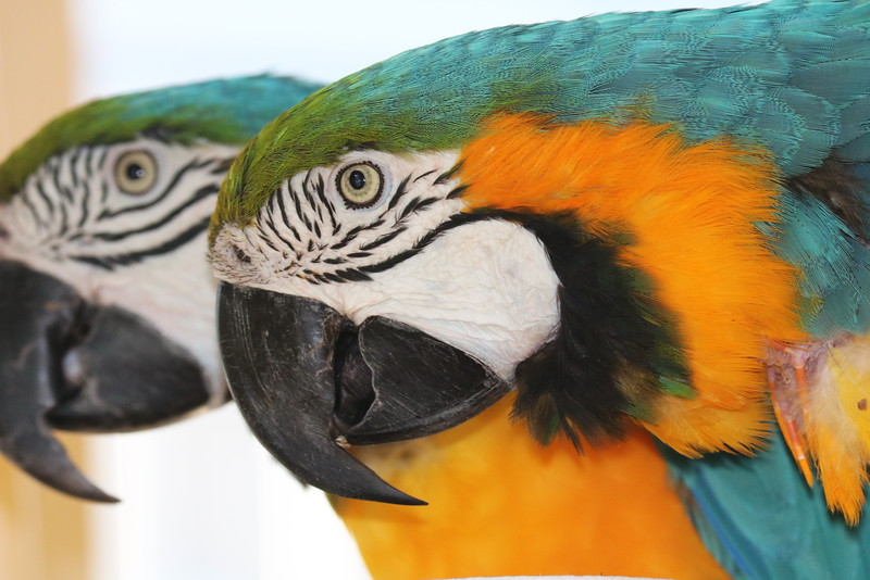 Parrots Paired for Life