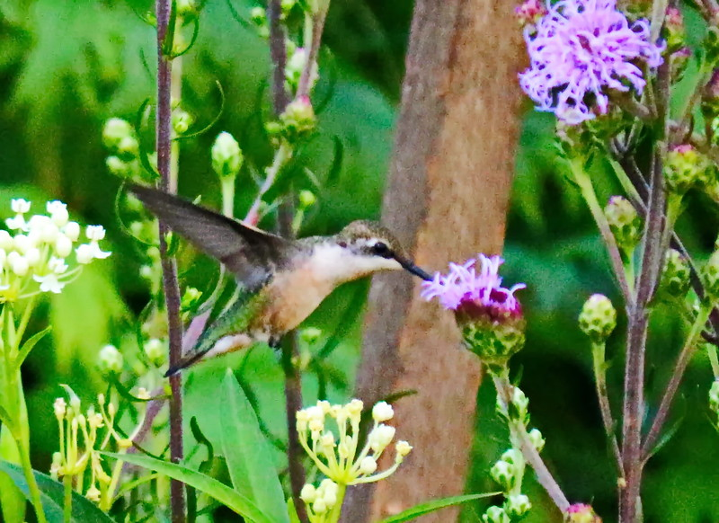 Hummingbird Sips Liatris Nectar